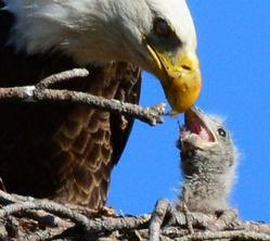 eaglefeedingeaglet