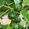 figs-2662883_1280