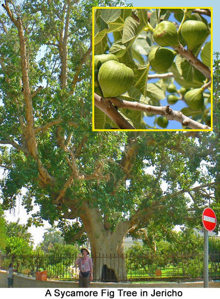 Sycamore-Fig Tree Jericho, Israel